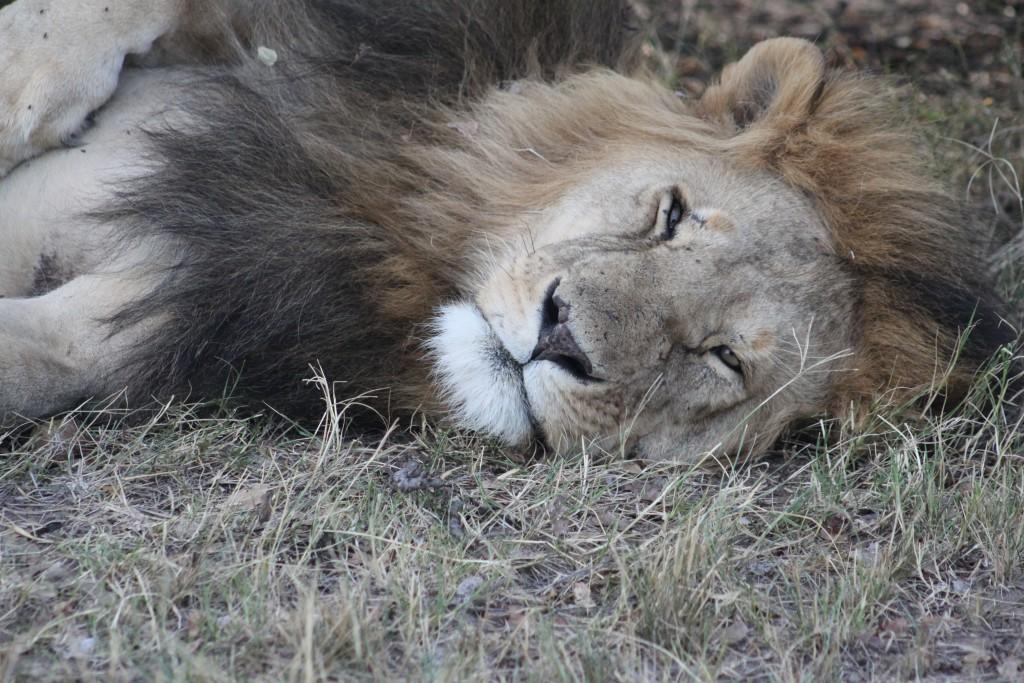 IMG_1087 Kenya lejon masai mara.JPG bild 3