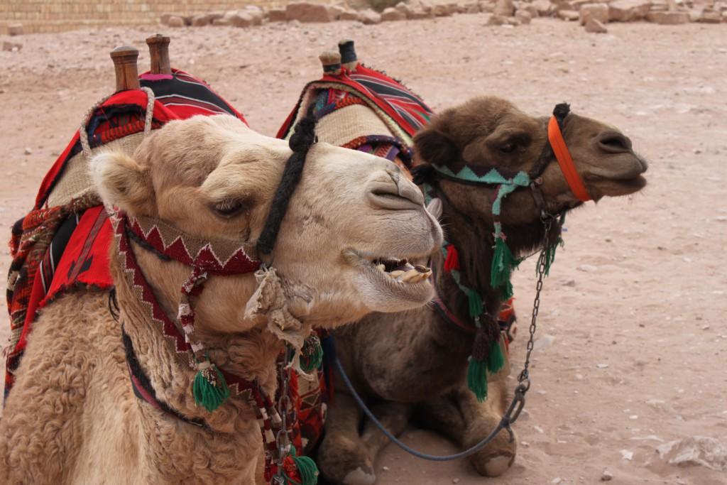 IMG_8270.JPG kameler Jordanien bild 17